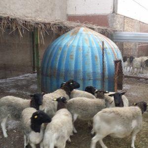 Český Dorper v Taškentu